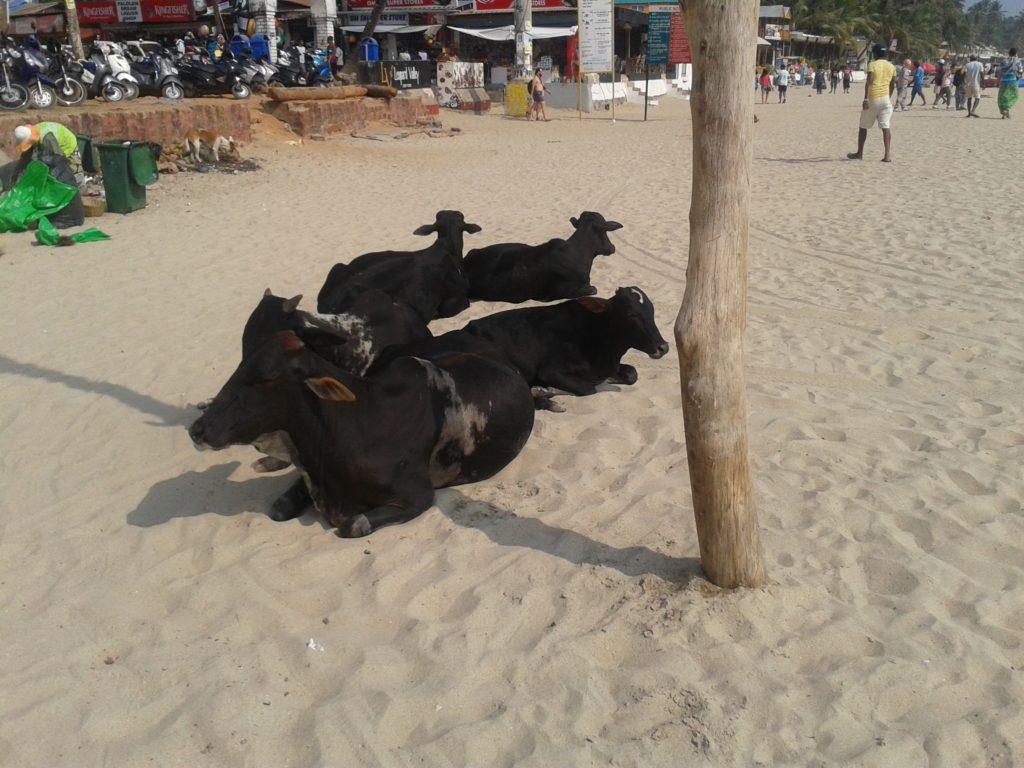 Beach cows in India