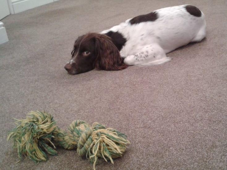 dog guarding toy