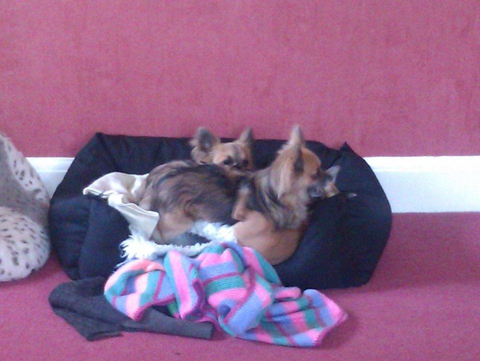 companion dogs
