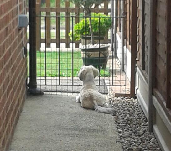 dog guarding the gate