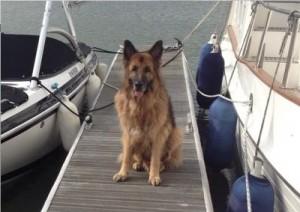 train a German Shepherd dog